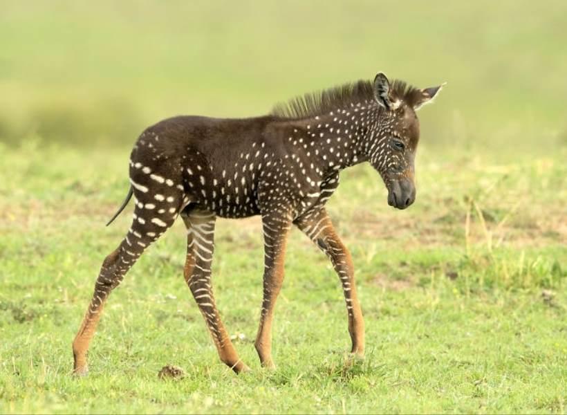 Lucu Banget, Bayi Zebra dengan Pola Titik-titik